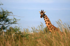 Giraffe, Uganda, Africa Royalty Free Stock Images