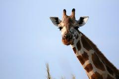 Giraffe, Uganda, Africa Stock Photo