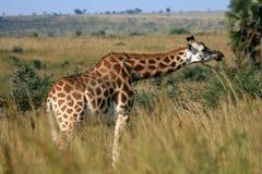 Giraffe, Uganda, Africa Royalty Free Stock Images