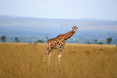 Giraffe, Uganda, Africa Stock Images