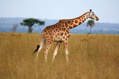 Giraffe, Uganda, Africa Royalty Free Stock Photography