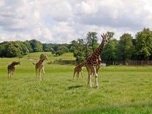 Giraffe in the UK zoo Stock Images