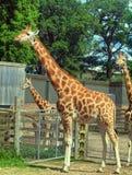 Giraffe in the UK zoo Stock Photography