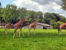 Giraffe in the UK zoo Stock Photos