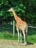 Giraffe in the UK zoo Stock Photo