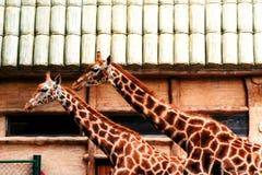 Giraffe in un giardino zoologico Fotografia Stock Libera da Diritti