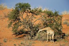 Giraffe- und Akazienbaum Stockfoto