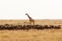 Giraffe und eine Herde des Gnus in der trockenen afrikanischen Savanne lizenzfreie stockfotos