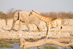 Giraffe und Elefant stockfotografie