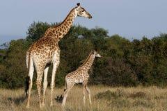 Giraffe und Kind Stockbild
