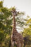 Giraffe und Oxpecker Stockfoto