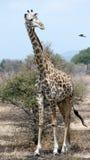 Giraffe- und Oxpeckervogel, Mikumi Park, Tanzania Stockbilder