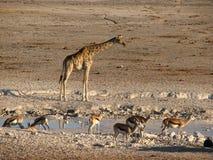 Giraffe und Springbock am Pool lizenzfreie stockfotografie