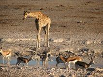 Giraffe und Springbock am Pool stockfotografie