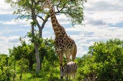 Giraffe und Zebra Stockbild