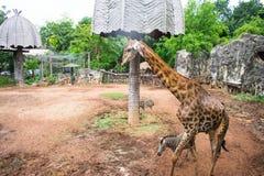 Giraffe und Zebra, die um Safari aufwecken stockfoto