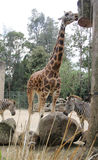 Giraffe und Zebras Stockfotografie