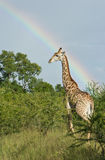 Giraffe under an African rainbow. A giraffe stands tall under a beautiful rainbow in South Africa's Sabi-Sands Game Reserve stock photo