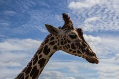 Giraffe under blue sky stock photos