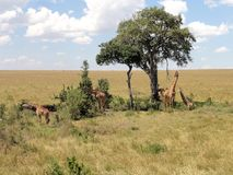 Giraffe under tree Royalty Free Stock Photos