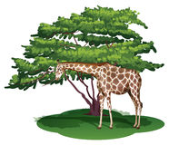 A giraffe under the tree Stock Photo