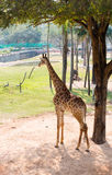 Giraffe under a tree Royalty Free Stock Photos