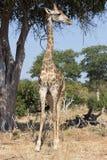 Giraffe under a tree Stock Photo