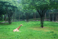 Giraffe on underbrush Stock Image