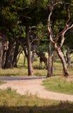 Giraffe unter den Bäumen stockbilder