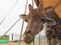 Giraffe up close Royalty Free Stock Photography