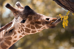 Giraffe. Up close eating royalty free stock image