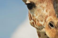 Giraffe up close stock photography