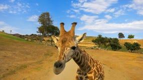 Giraffe up close in safari park stock images