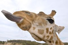 Giraffe up close with tongue o Royalty Free Stock Image