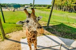 Giraffe up closeand personal royalty free stock photo