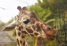 A Giraffe Uses its Long Tongue Stock Photo