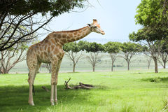 Giraffe in the veldt Stock Photos