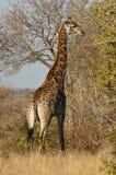 Giraffe vertically. Giraffe eating in the bush in Kruger National Parck Royalty Free Stock Photo