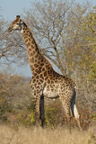 Giraffe vertically. Giraffe walking in the bush of the Kruger National Park in South Africa Royalty Free Stock Photography