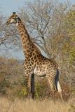 Giraffe vertically Royalty Free Stock Photography