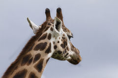Giraffe von hinten Stockbilder