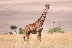 Giraffe von Kenia Stockbild
