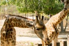 Giraffe waiting for animal feed. royalty free stock photo