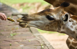 Giraffe waiting for feeding Royalty Free Stock Photography