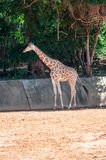 Giraffe waiting for feeding. stock photos