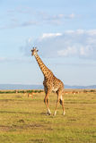 Giraffe walk on the savannah Stock Image