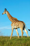 Giraffe walking Royalty Free Stock Images