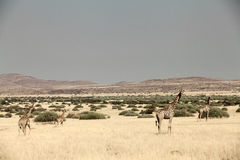Giraffe walking. On the grass area Royalty Free Stock Image