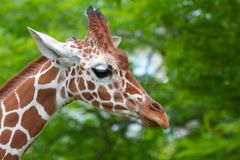 Giraffe walking. Cute giraffe walking past trees with its ears standing up Royalty Free Stock Photos