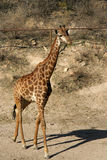 Giraffe walking. A giraffe walking in a national park Royalty Free Stock Photo
